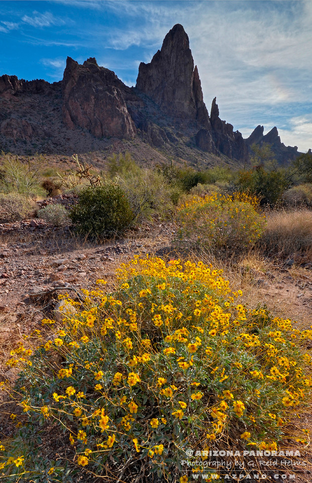 Brittlebush in Kofa Queen Canyon